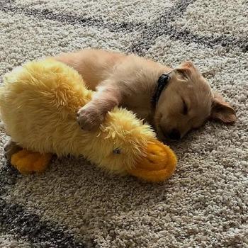 Мимишности пост: щенята со своими любимыми игрушками