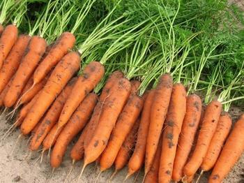 Как получить урожайность моркови с 1 гектара