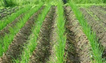 10 секретов хорошего урожая лука
