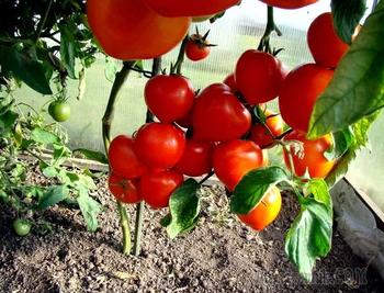 8 советов по уходу за помидорами