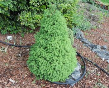 Хвойные растения для небольшого участка