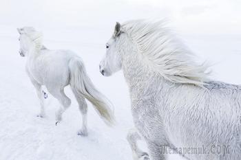 «В царстве легенд»: фотографии лошадей среди эпических исландских пейзажей