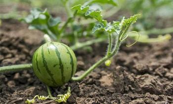 Сажаем арбузы правильно: сроки посадки семенами на рассаду и в грунт