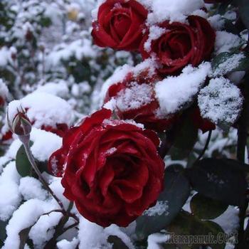 Готовим розы к зиме – 13 полезных советов для начинающих цветоводов