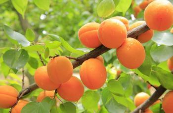Как привить абрикос на абрикос