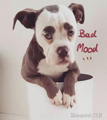 Мадам Брови — самый грустно выглядящий бульдог во всём интернете