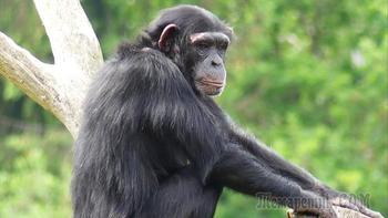 Шимпанзе поражают своими способностями и высоким интеллектом. И все таки они люди?