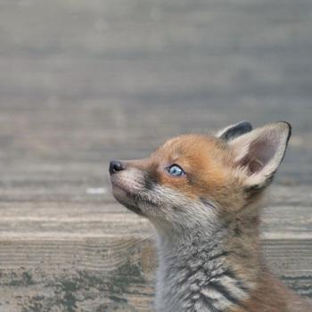 37 фотографий лисиц, показывающих, какие это игривые и прекрасные животные