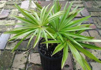 Пальма ливистона: выращивание в домашних условиях, уход, размножение