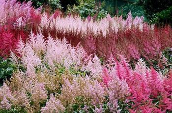 Тенелюбивая астильба: выращивание из семян и последующий уход
