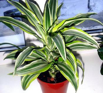 Комнатный цветок — пальма драцена: посадка, уход