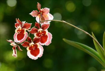Орхидеи «Онцидиум»: выбор сорта и технология комнатного выращивания