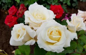 Розы Сливницы