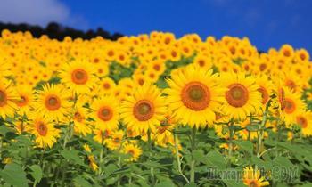 Подсолнухи - цветы Солнца!Музыкальная открытка.
