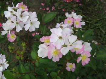 Выращивание роз из семян: как посеять семена и чего ждать от растения