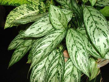 Почему желтеет аглаонема и как помочь растению?