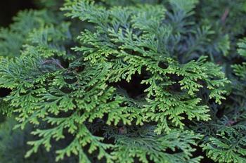 Кипарисовик – вечнозеленое хвойное многолетнее растение
