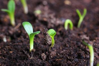 10 самых частых проблем при выращивании базилика