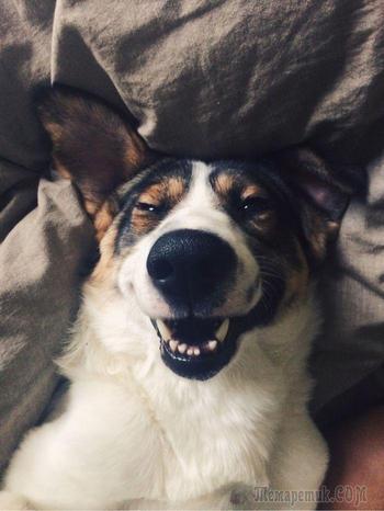 20 счастливых собак, которые на самом деле умеют улыбаться