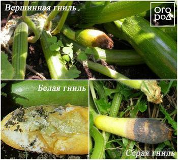Болезни кабачков в открытом грунте – фото, описания, меры борьбы