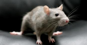 Гороскоп для крысы на 2018 год по знакам зодиака