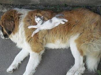 Смешные фотографии кошек и собак, которые не умеют пользоваться кроватями и не прочь поспать друг на друге