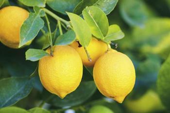 Как ухаживать за лимоном в домашних условиях в горшке