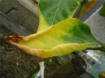 Опадают и желтеют листья у рассады перца — что делать