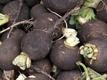Сроки посадки редьки семенами в открытый грунт