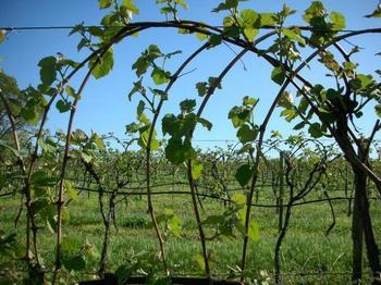 Как правильно подвязывать виноград