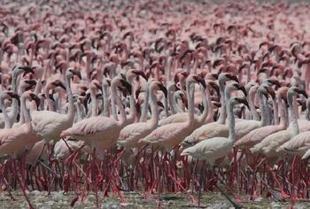 Чем удивляет место, где можно увидеть около 2 миллионов фламинго: Озеро Богория