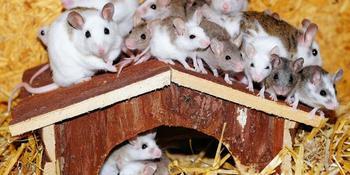 К чему снятся в большом количестве мыши?