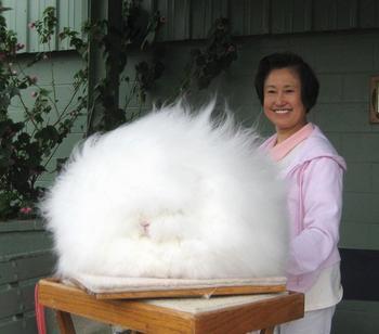 Ангорский кролик - самая пушистая порода в мире