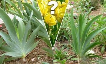 Почему не цветут ирисы?