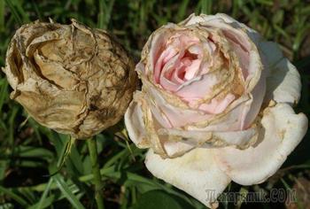 5 самых частых летних болезней цветника