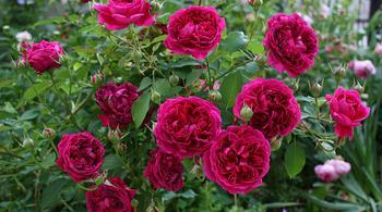 Роза Уильям Шекспир — описание сорта, необходимые условия содержания