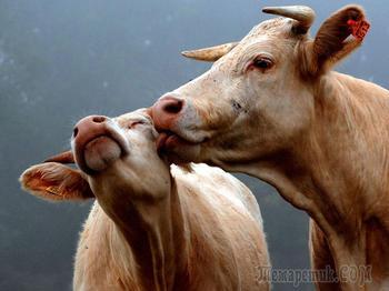 Влюблённые животные - 25 фотографий