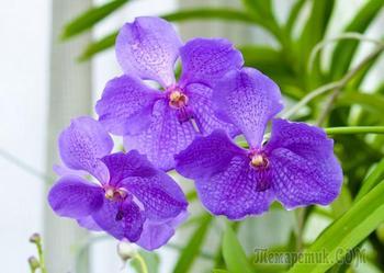 Ванда из семейства Орхидных