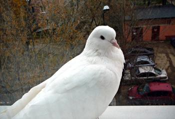 Прилетел белый голубь во двор: примета и её значение