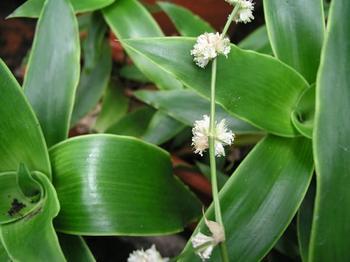 Цветок «Золотой ус»: уход и выращивание в домашних условиях