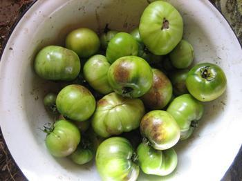 Чем обработать помидоры от фитофторы в теплице
