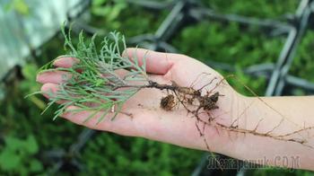 """Интересный способ укоренения растений - метод """"песочный цилиндр"""""""