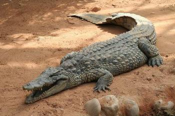 К чему снится крокодил женщине?