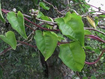 Травянистое растение анредера