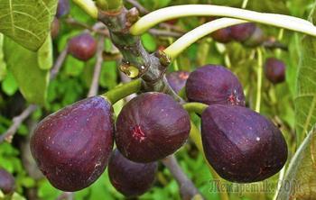 Инжир – выращивание и уход в условиях частного сада