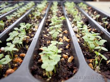 Что посеять в апреле на рассаду