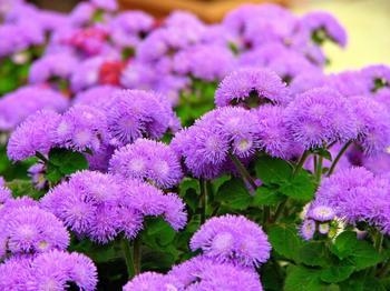 Агератум: выращиваем красивый цветок для дачного участка