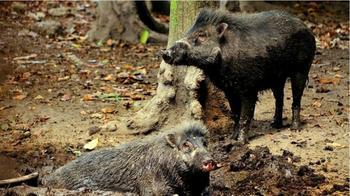 Как свиньи меняют наши представления о границах разумного