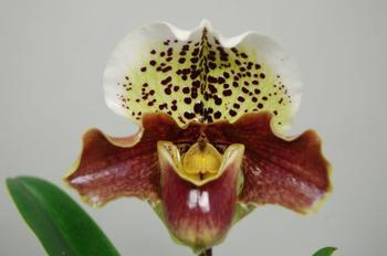 Орхидея пафиопедилум уход в домашних условиях