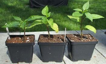Что делать и чем можно помочь, если желтеют листья у перца, причины явления